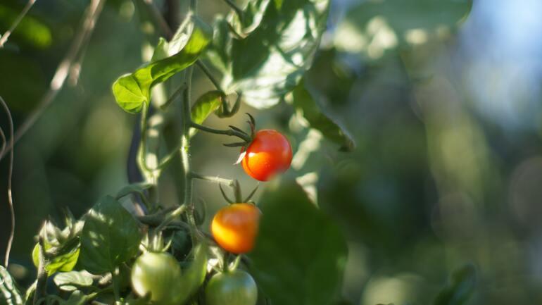 tomatendünger-test