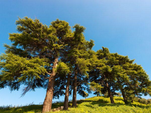 Five cedars of Lebanon (cedrus libani) in the hill on blue sky in summer