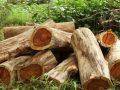 Rosenholz: dekorative Holzart oder umstrittener Luxusartikel?