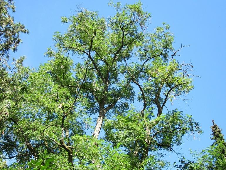 robinienholz