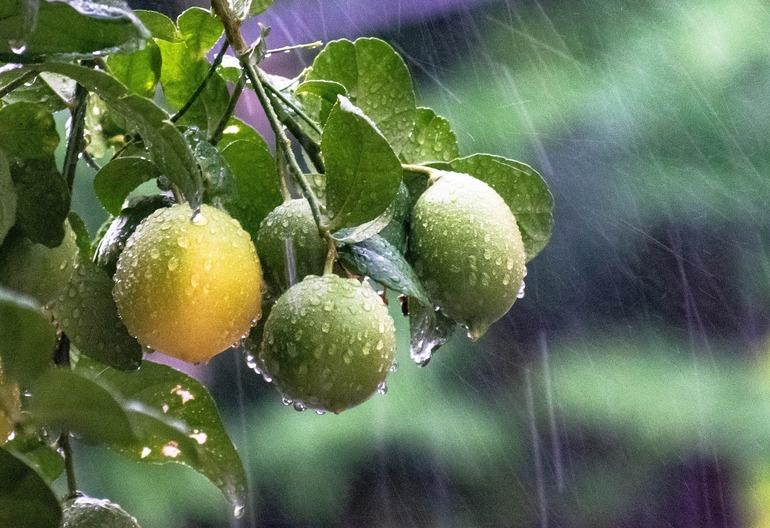 Es regnet auf drei Früchte, welche an einem Baum hängen